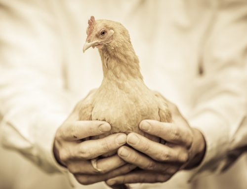 Avoid These Mistakes As A New Poultry Farmer